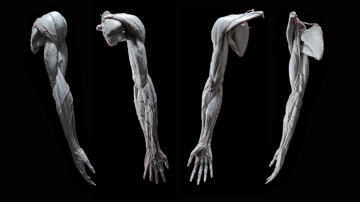 UpperLimb_FullArm_2020-07-15_Sculpt