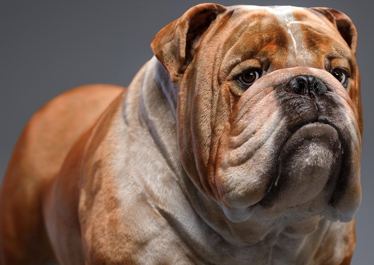 Bulldog_closeupedit