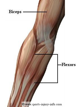 elbow-muscles-anterior.jpg