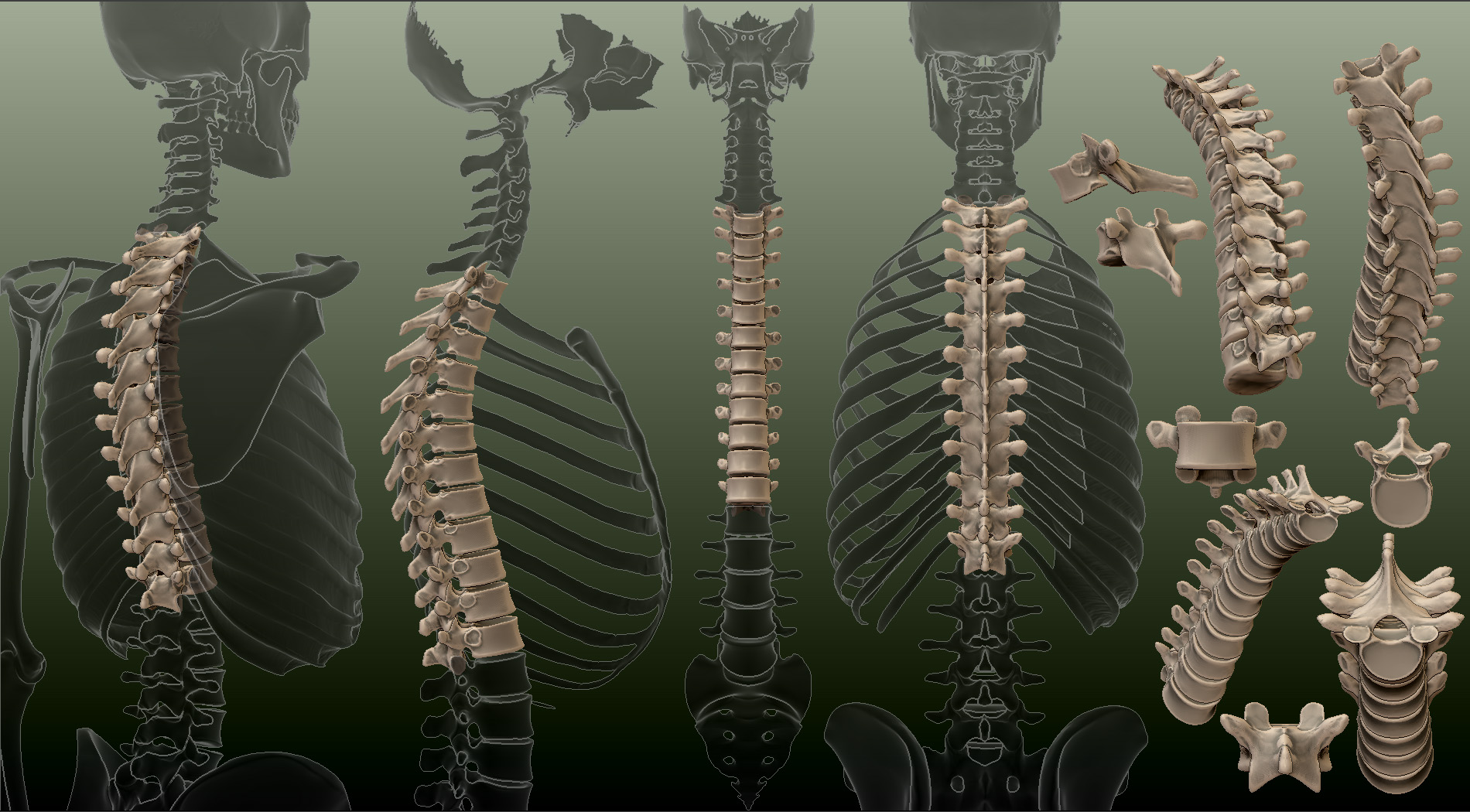 spineThor1.jpg